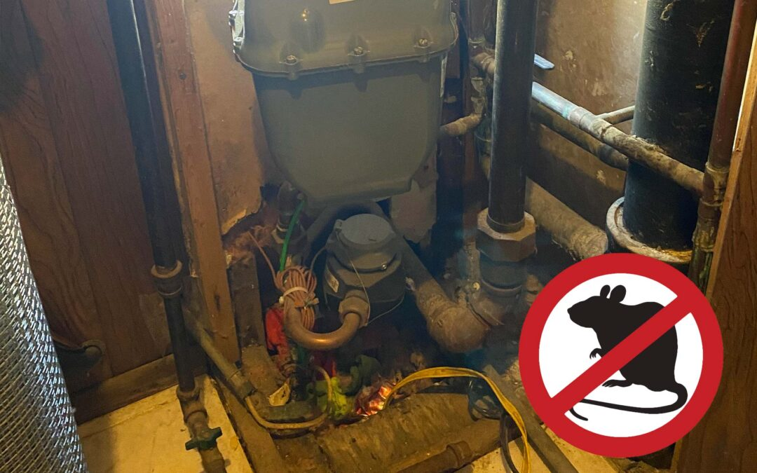 Norway Rats invaded this Chicago Home